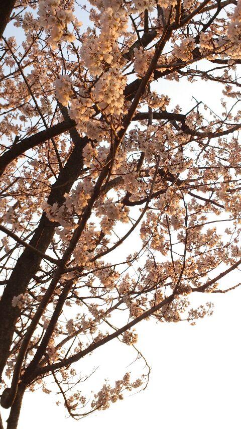 夕方の桜!