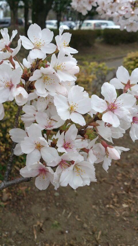 桜アルバム