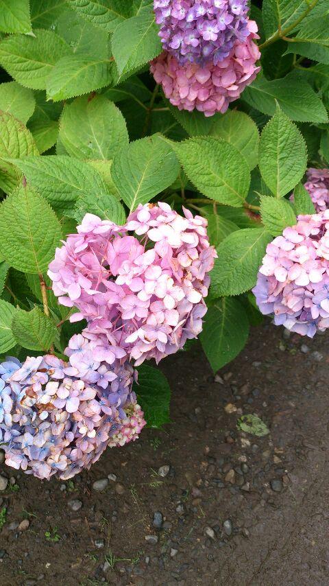 紫陽花が綺麗な季節です。